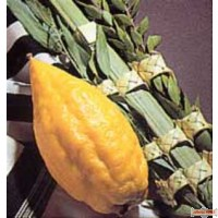 Yanover Lulav and Esrog Sets From Italy-Choose a grade-Ships with UPS only- Does not Qualify for free shipping
